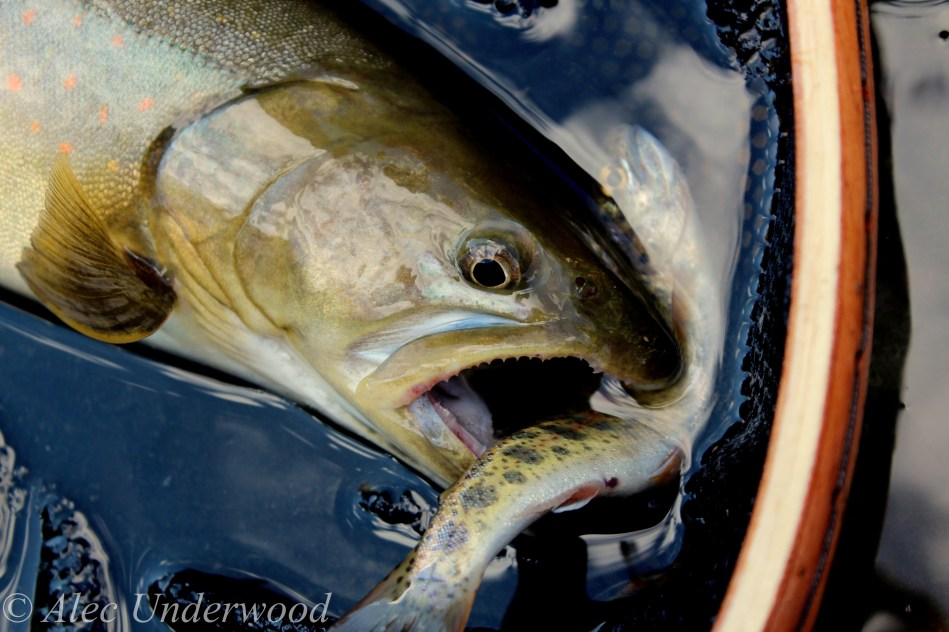 Bull trout lunch