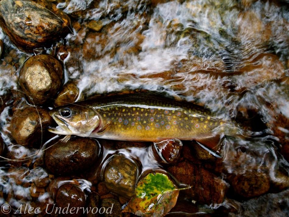 Native Adirondack Brook Trout